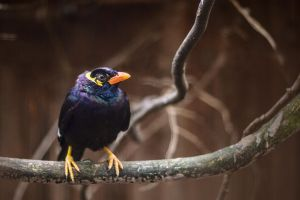 Common Hill Myna by murriwurri
