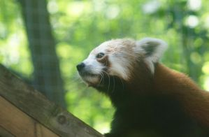 Red Panda I by CharlieRoz