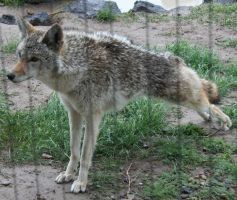 Pocatello Zoo 14 Coyote by Falln-Stock