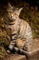 Tawny Tabby Cat by jndphotography