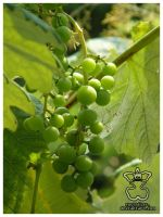 Fruit of the Vine II by eosthilas