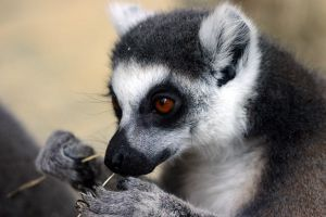 Ring-tailed lemur by marble911