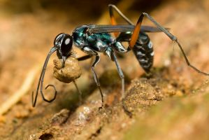 Blue Wasp by melvynyeo