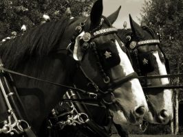 Clydesdale Draft Horses by sweetwyo