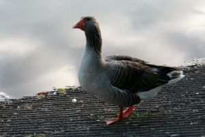 Geese49 by MaelstromStock