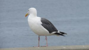 Seagull Stock - 2 by CNLGraphics