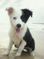 Border Collie Puppy is beached by animel
