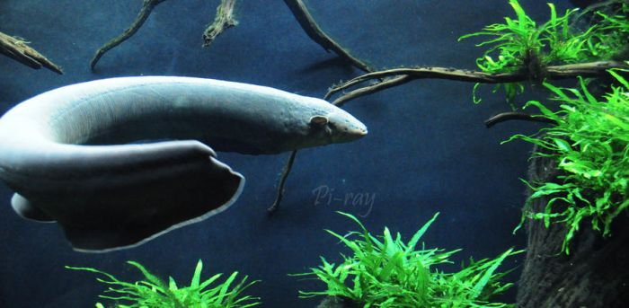 Electric eel by SammanthaAus