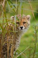 Cheetah 14 by Alannah-Hawker