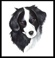 border collie by lovelylittlesunshine