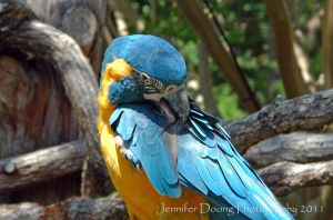 Preening Blue-throated Macaw by MorrighanGW