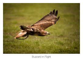 Buzzard in Flight by AlexMarshall