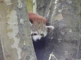 Red panda peekaboo by PuNK-A-CaT