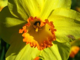 Daffodil 2 by MunsenTheBiscuit69
