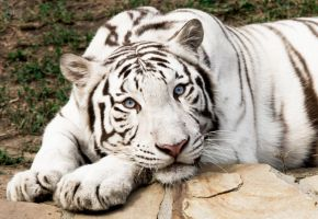 white tiger by saricia