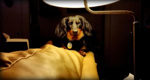 Doxie by fearnone