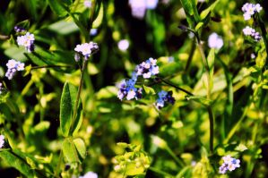 forget- me - not by MoonBeam3100