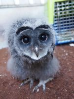 Baby lesser sooty owl by jenna-benna
