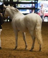 STOCK - 2014 Andalusian Nationals-75 by fillyrox