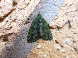 Red Green Carpet Moth (Chloroclysta siterata) by SrTw