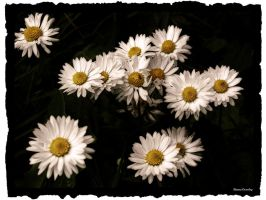 White Daisys by Ranae490
