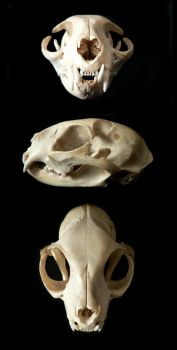 Cat Skull by nikkiburr