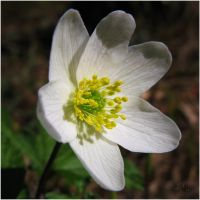 Wood Anemone by JoannaMoory