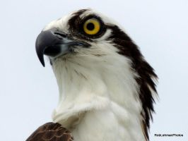 Osprey by RobLehmanPhotos