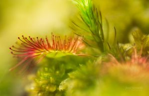 Land Of Drosera by Nitrok
