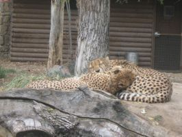 Cheetahs Licking One Another by LivingForTheFuture