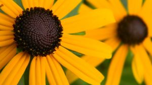 Black eyed susans by theHael