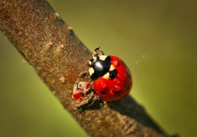 Coccinellinae by Nietra