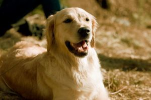 Golden Retriever by Hanseco