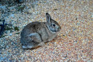 Eastern Cottontail by donnatello129