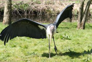 Marabou Stork by Picassokilling