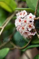 Hoya carnosa by fallen-angel-24