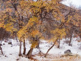 Golden Trees in the Snow by ChickensAndDucks