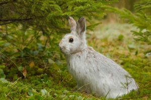 Snowshoe Hare by Les-Piccolo