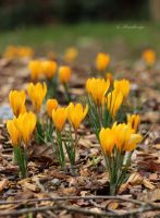 Crocus by Kimory-S