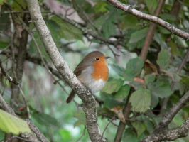 wray robin 2 by harrietbaxter