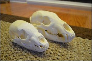 Black Bear and Cub Skulls by Lupen202