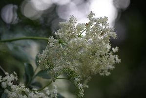 Elderberry Flowers in the Rain by organicvision