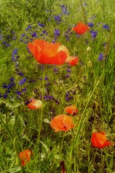 poppies by Su58