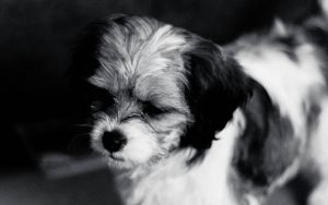 Black And White Dog Lacey by Samuel-Benjamin