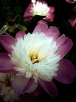 Duotone Flower by techunit