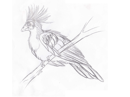 Hoatzin Sketch by Forbidding