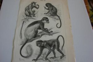 Lithograph FOR SALE or TRADE: Monkeys 1 by Lot1rthylacine