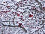 Snow Berries by emilythesmelly