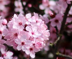 Cherry blossoms by lupagreenwolf
