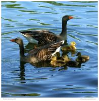 Gaggle of Geese by In-the-picture